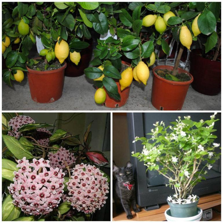 Цветущее растение для ароматизации